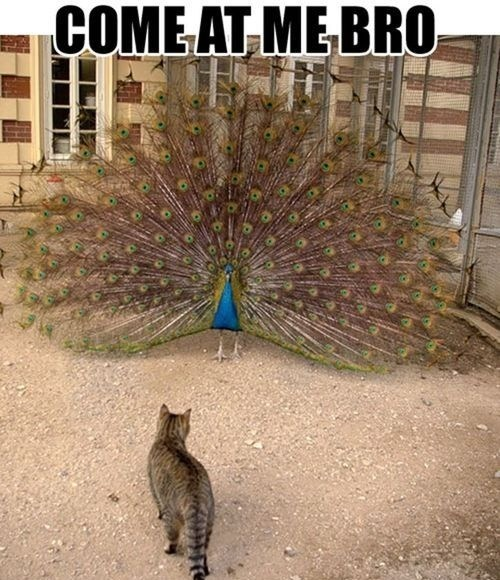 peacocks,come at me bro,Cats