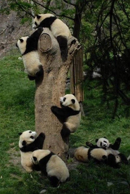 panda,climbing,palooza