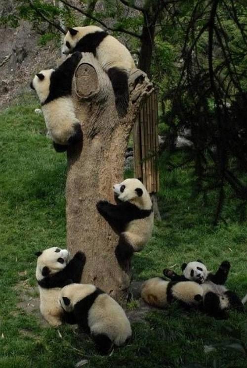 panda climbing - 7565453824