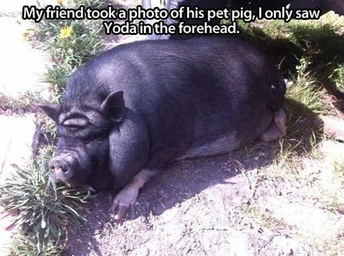 pig yoda oink funny - 7571606272