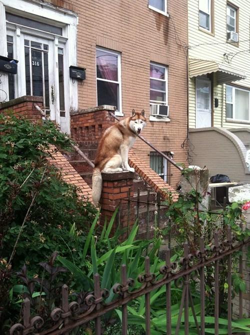 security husky