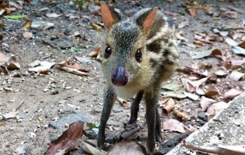 Chevrotain or Mouse deer.