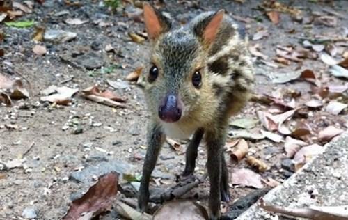 deer mouse - 7575475456