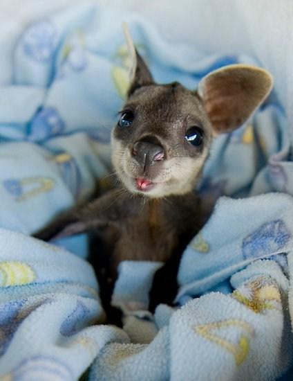 baby australian wallaby - 7575542272