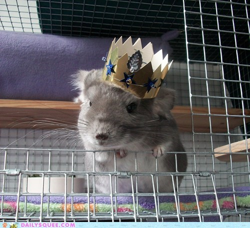 crown cute party animal chinchilla