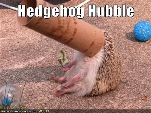 hedgehog,hubble telescope,toilet paper roll,funny