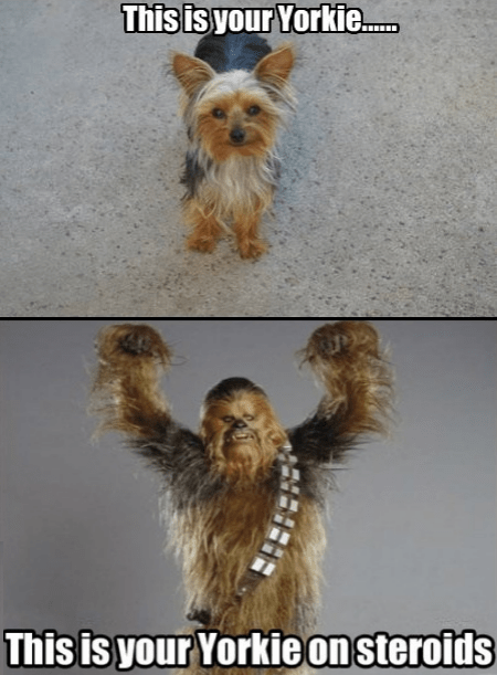 Not Even Once dogs yorkie chewbacca funny - 7578984192