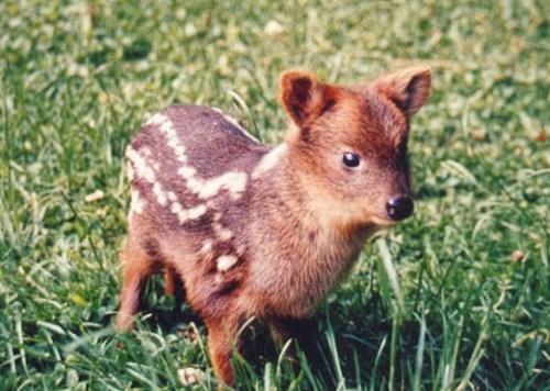 Pud tiny deer squee spree - 7579128832