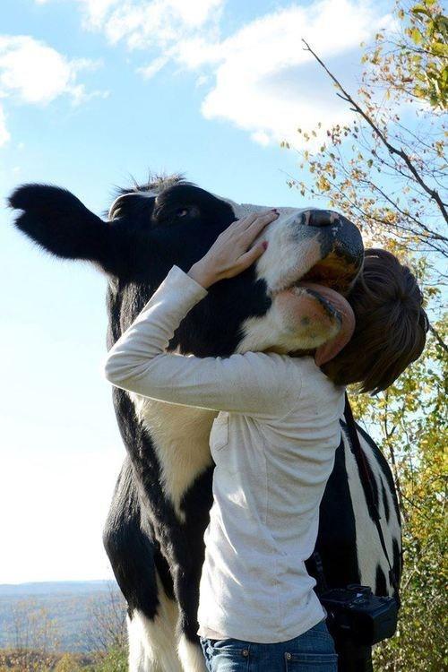 bovine cow lick hug - 7579298304