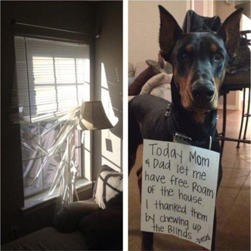 thanks destructive blinds dog shamming - 7579430400