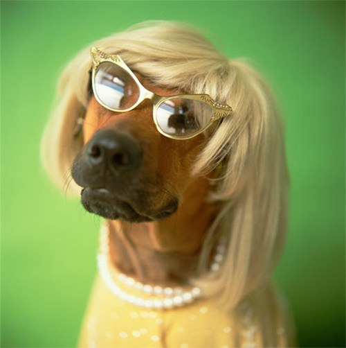 dogs with wigs - Dog