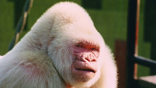 ape,albino,inbred,science,biology,funny