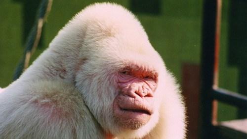 ape albino inbred science biology funny - 7579762688
