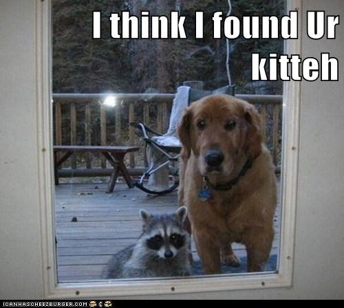 cat raccoon outside funny - 7582560256