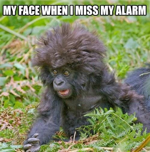 alarm,late,funny,gorilla