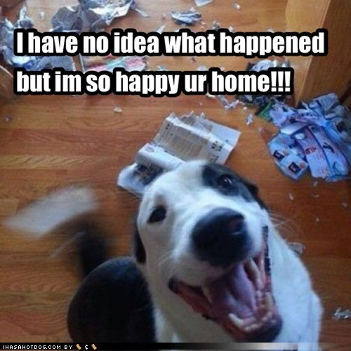 destructive,border collie,funny