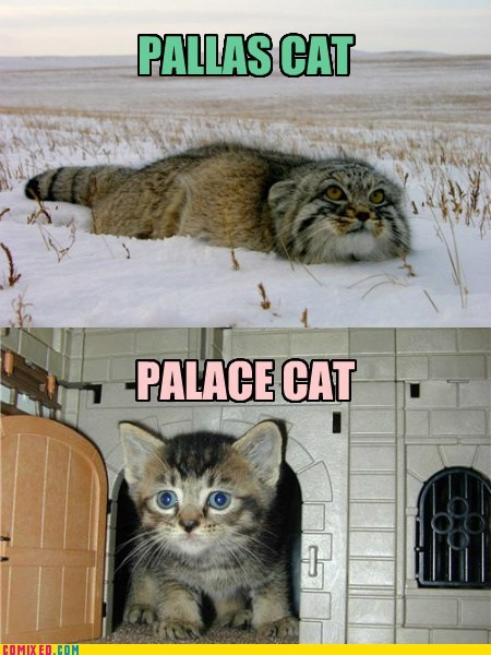 PALLAS CAT/PALACE CAT