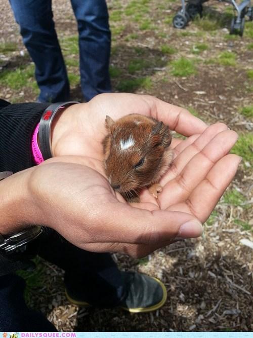baby tiny guinea pig - 7586334976