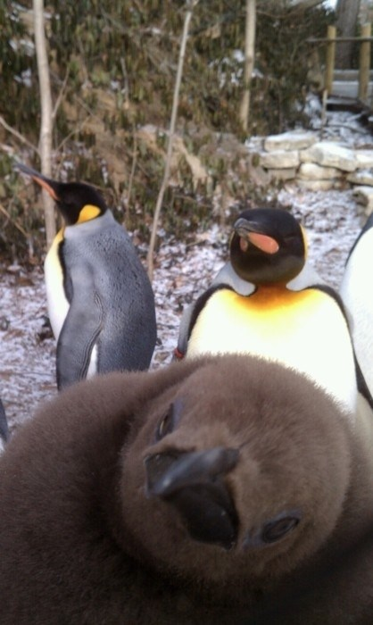 photobomb,penguins,funny