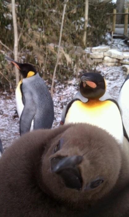 photobomb penguins funny - 7589521152
