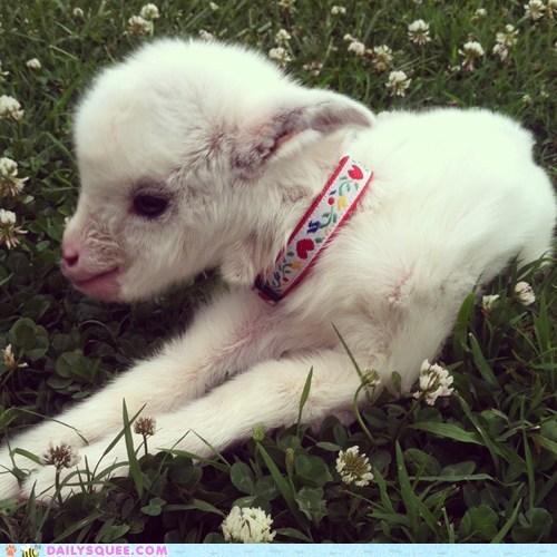 baby goat kid - 7589542912