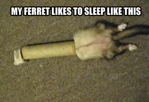 ferret cozy cardboard tube sleep