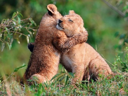 lions,brotherly,hug