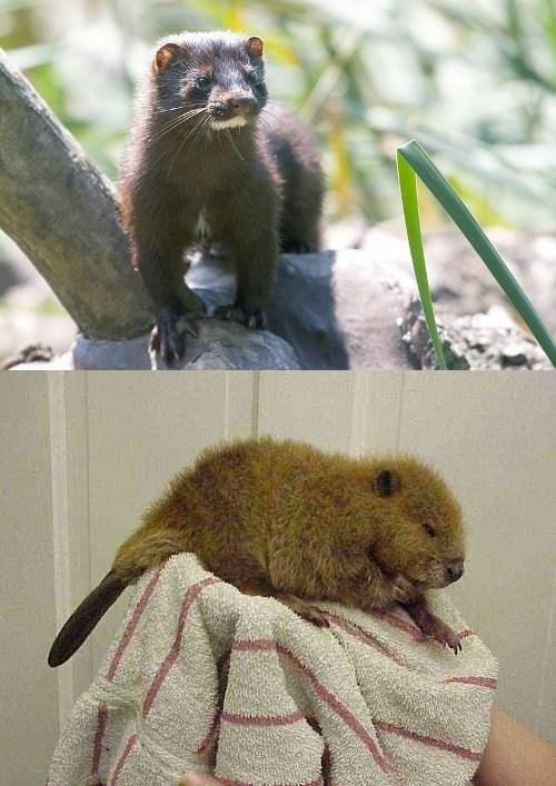 beaver,stoat,squee spree