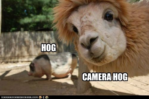 photobomb hogs llamas farm