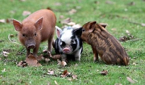 three little pigs cute - 7598956288