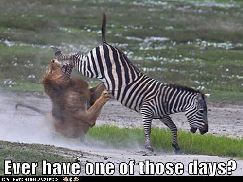 zebra kick lion hunter funny - 7600695296