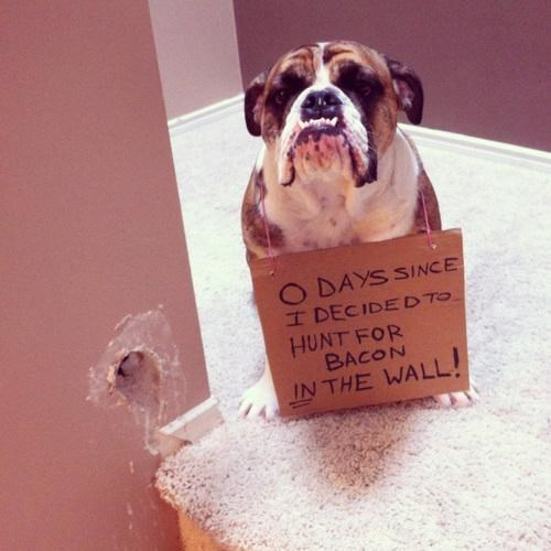dog shaming,wall,funny,bacon