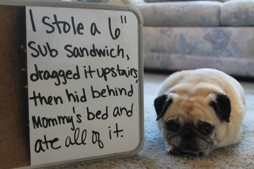 sandwich,dog shaming,sub,funny