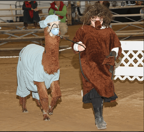 llamas funny alpacas animals dressed like people - 7603942912