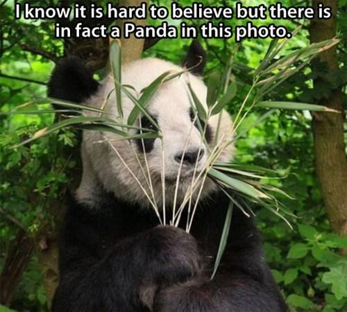 bamboo panda hiding funny - 7604163840
