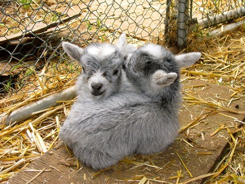 pygmy goats kissing - 7604422912