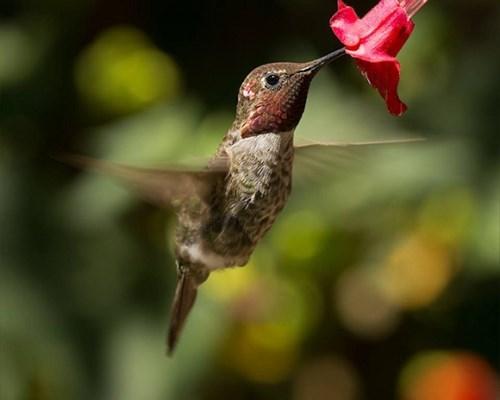 elusive hummingbird - 7604512000