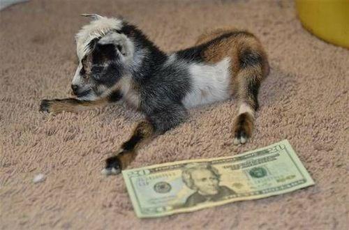 baby goat tiny
