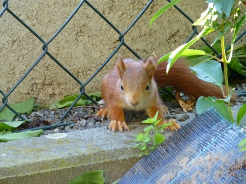 baby squirrel furball - 7607562240