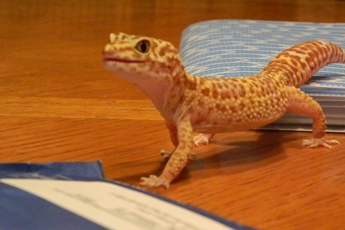 cute lizard sheldon gecko - 7607648512