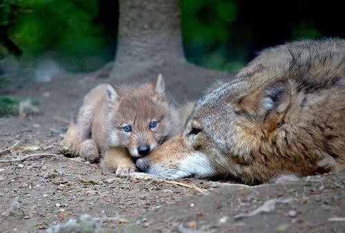 puppy bite playful mom wolf - 7608132864