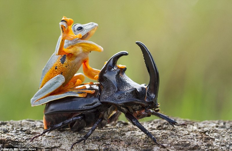 photoshop battle beetle frog