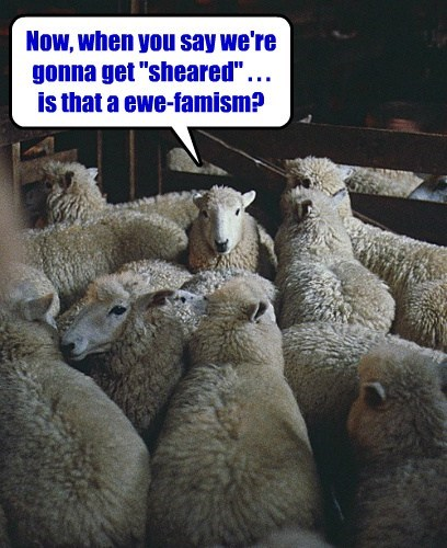 "Now, when you say we're gonna get ""sheared"" . . . is that a ewe-famism?"