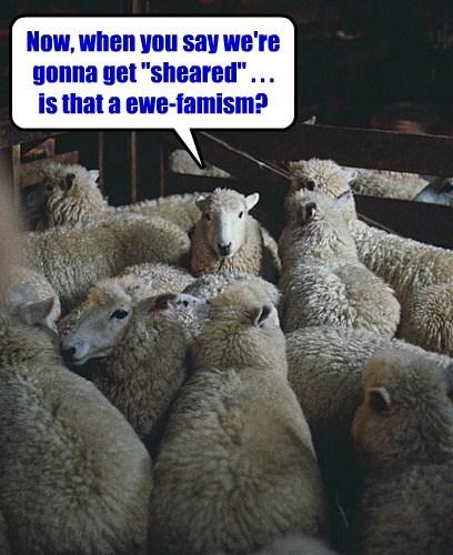 pun euphemism sheared sheep funny - 7611241984
