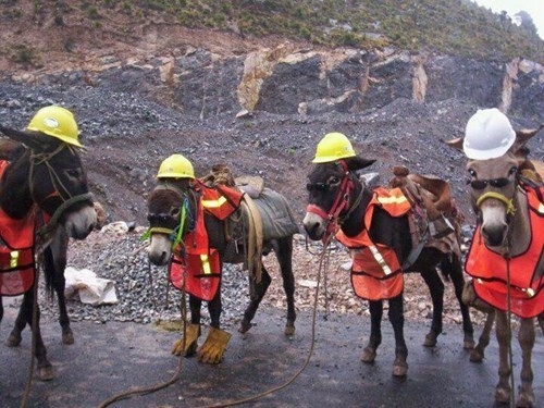 donkey,hard hats,ass,funny,protect