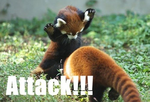 red panda,adorable,attack,play