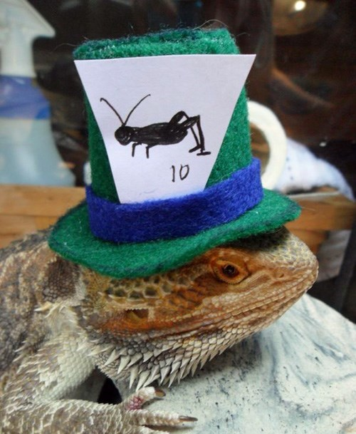 lizards,cute,hat,beard dragons