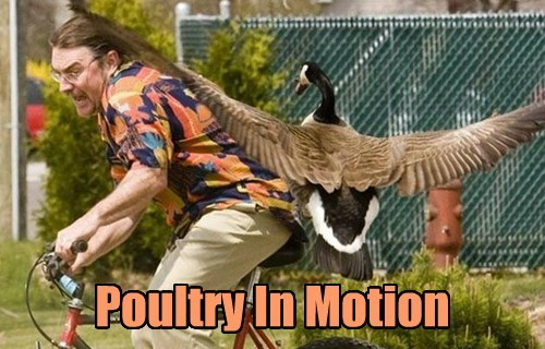 poultry poetry in motion bird funny - 7619884032