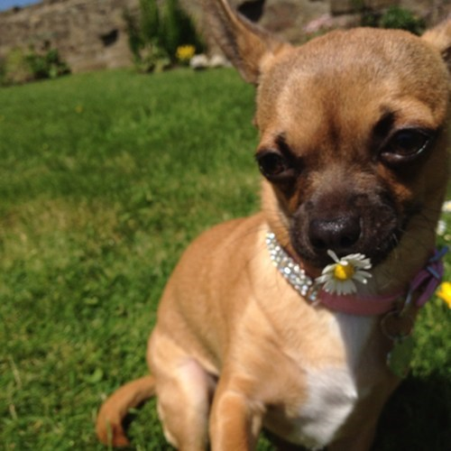 summer,Flower,chihuahua,dogs