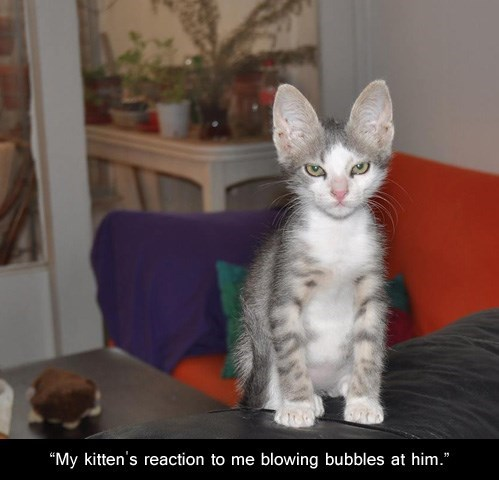 kitten not amused bubbes funny - 7622582528